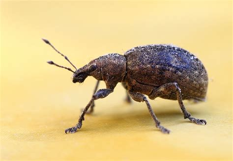 weevil bugs 10 steps to keep weevils and bugs out of food