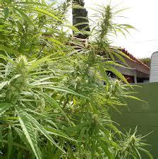 comment bien choisir une vari 233 t 233 de cannabis 224 cultiver en