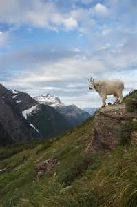 Glacier National Park Montana Goat