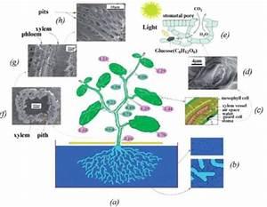 A  A Schematic Diagram Of Pumpkin Plant  Cucurbita Maxima