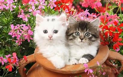Cat Cats Wallpapers Desktop Kittens Backgrounds Kitty