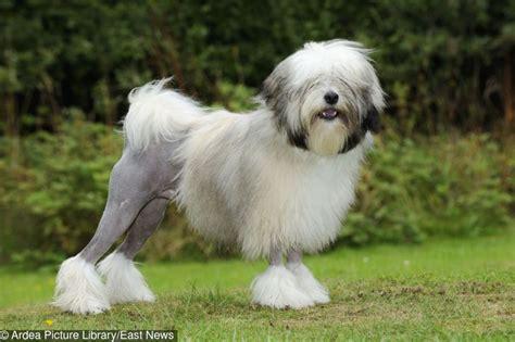 most fancy dog breeds