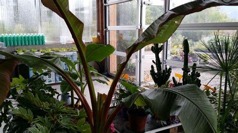 palmiers bananiers la palmeraie des alpes