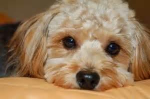 hypoallergenic dogs choosing a dog breed best dog breeds