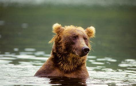 bear witness werner herzogs grizzly   man