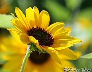 Sunflower Photography yellow flower photo nature wall art