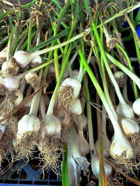 Knoblauch Herkunft, Bedeutung Und Anbau Im Garten Plantura