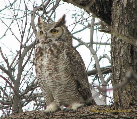 great horned owls tanque verde ranch musings