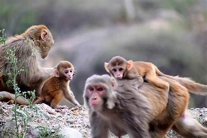 Monkeys Monkey Facts Animals Pexels Monos Covid