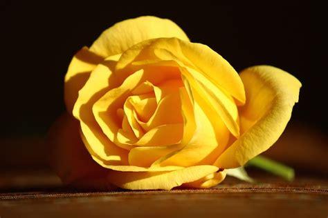 gelbe blumen bedeutung die farben der valentinstag 2019