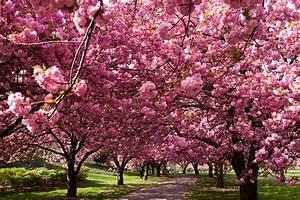 Los Árboles de Cerezos en Japón