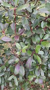 Glanzmispel Rote Blätter Fallen Ab : braune flecken auf glanzmispeln photinia fraseri red ~ Lizthompson.info Haus und Dekorationen