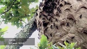 Essaim De Frelon : 2016 destruction d 39 un nid de frelons asiatiques norme ~ Melissatoandfro.com Idées de Décoration