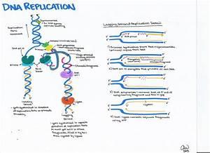 Genetics Study Guides