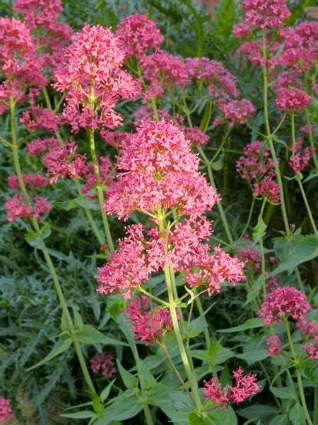 butterfly nectar plants butterfly gardening attracting