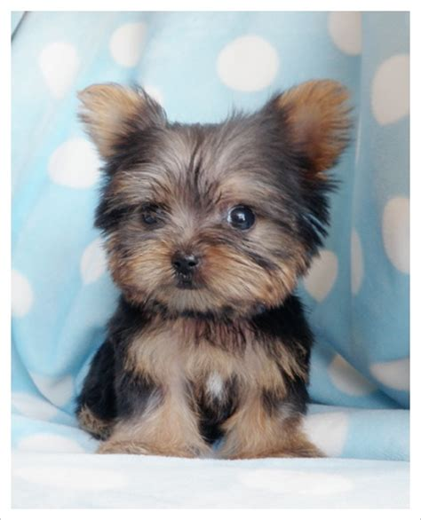 Small Dogs That Stay Small And Don T Shed by 95 Best Images About Cutest Puppies On