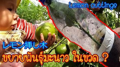 ปักชำมะนาว ง่ายสุดๆ วิธีขยายพันธุ์มะนาว แบบควบแน่นในขวด ...
