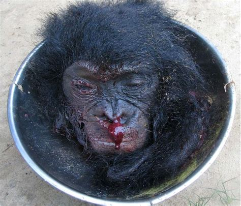 searching  bonobo  congo bushmeat  bonobo