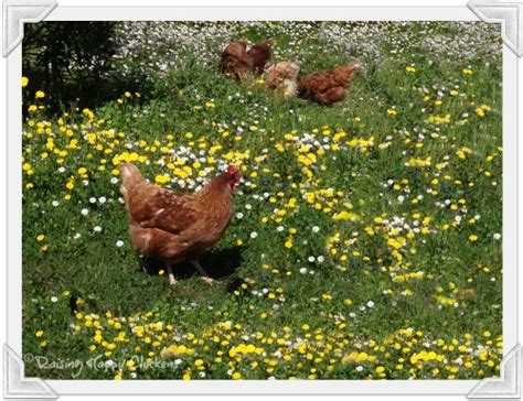 Caring For Chickens In Backyard by Caring For Chickens Ten Questions To Ask Yourself Before