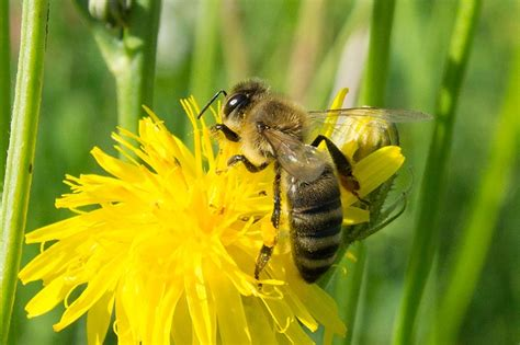 photo bee collect honey honey bee  image