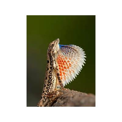 99 best images about Fan-throated Lizards on PinterestFans Florida and Brown