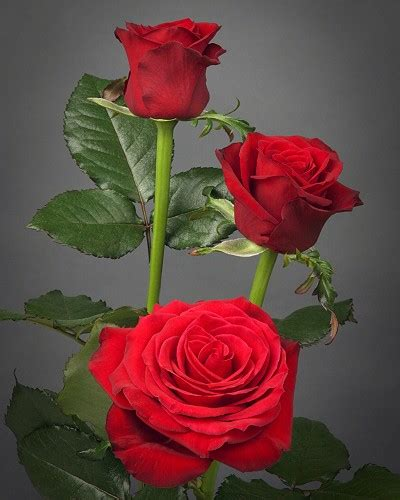 gambar bunga mawar merah