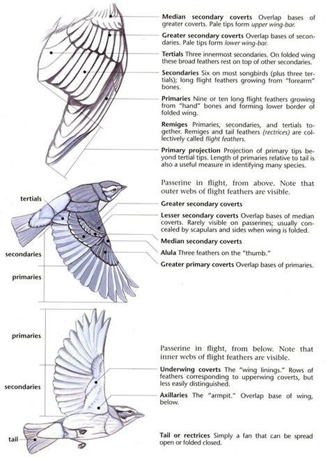 sibleywings   wing anatomy bird drawings bird wings