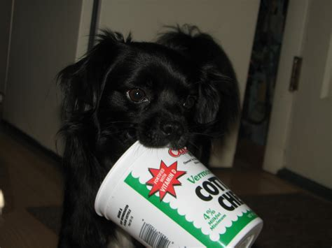 can dogs eat cottage cheese the best human foods for your precious pup