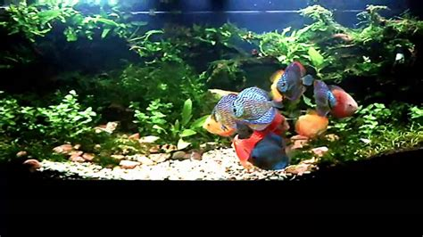 discus  aquascape july  youtube
