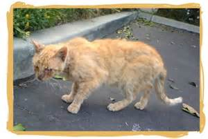 signs of hyperthyroidism in cats hyperthyroidism in cats