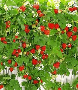 Erdbeeren Pflege Balkon : h nge erdbeere hummi 1a qualit t baldur garten ~ Lizthompson.info Haus und Dekorationen
