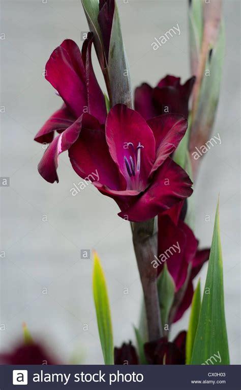 image result  burgundy gladiolus burgundy flowers