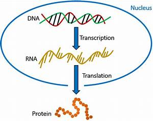 Overview Of The Central Dogma Shows The Flow Of Genetic