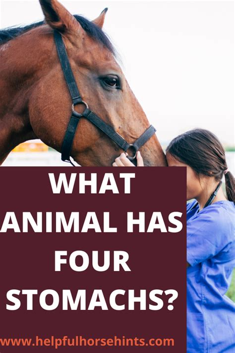 digestion horses ruminants they helpfulhorsehints horse similar stomach ruminant four