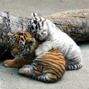 Baby orange and white tigers playing together ...