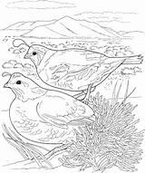 Coloring Quail Printable Quails Adult Birds Colouring Grouse Supercoloring California Several Pheasant Desert Animals Outline Bird sketch template