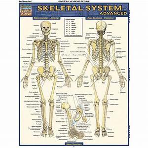 Skeletal System Backbone