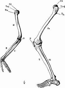 Arm And Leg Skeleton