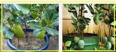harga berbagai jenis tanaman buah  pot merawatbunga