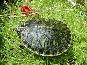 turtle pond images  pinterest turtle pond