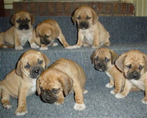 what does a puggle puppy look like
