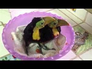 Baby rescued toucans - YouTube