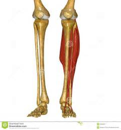 Picture of Tibia and Fibula Bones Lateral