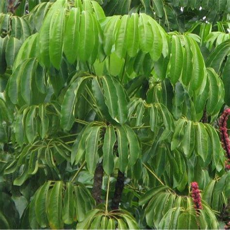 flynn umbrella tree