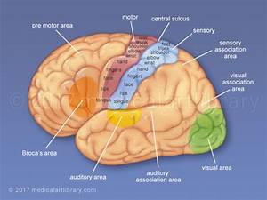 Cerebral Cortex - Functional Areas