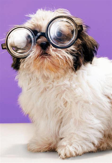 shih tzu dog  glasses funny birthday card greeting