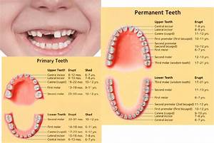 Baby Teeth Eruption Chart   When Do They Come In And When