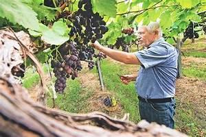 Piante uva Uva Le piante da uva