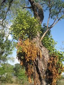 Mistletoe Kills Trees in Texas   Fresh Harvested Texas ...