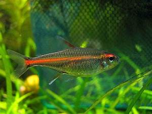5 Most Popular Tetra Fish Types | Home Aquaria